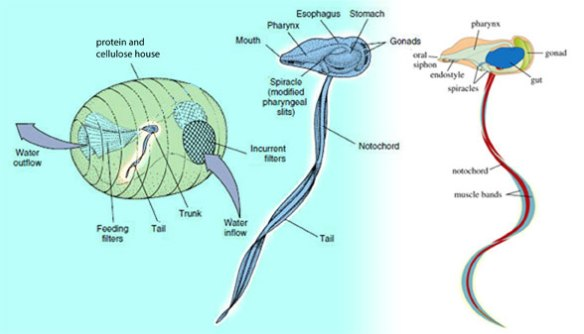 Figure 5. Lavacea diagram showing the tadpole organism and the house it builds from cellulose and protein. This is a highly derived organism, based on two parts that originated in the Cambrian with Vetulicola.