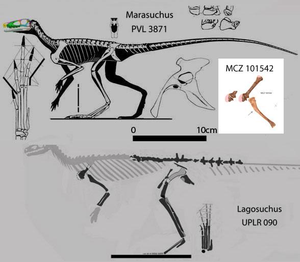 Figure 2. MCZ 101542 compared to Marasuchus and Lagosuchus.