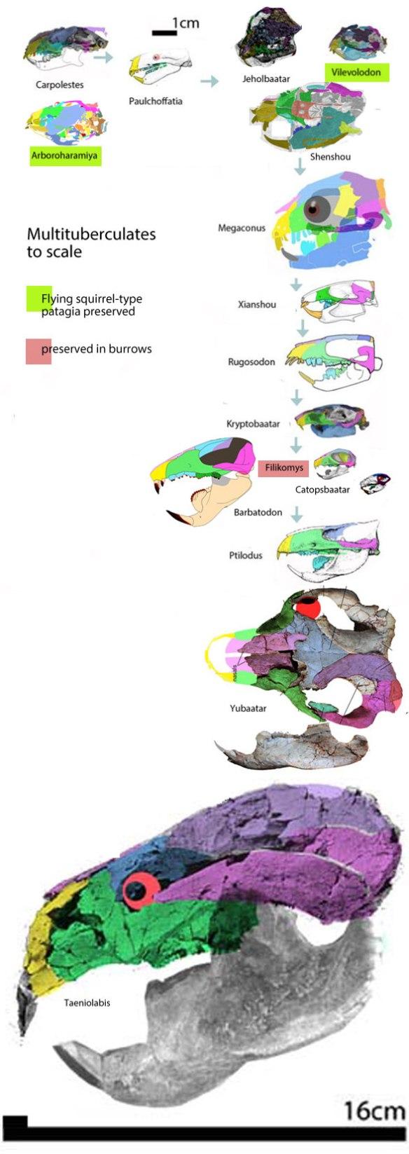Figure 2. Multituberculates to scale. Carpolestes is the proximal outgroup taxon.