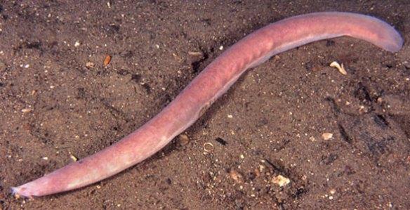 Figure 1. The hagfish Myxine in vivo patrolling the sea floor.
