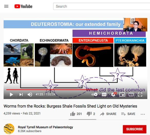 Figure 2. Frame from Nanglu talk on YouTube (see above) showing question marks on his cladogram of chordate/hemichordate origins.