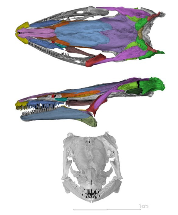 Figure 1. Skull of Proteus the white olm. Colors added. Note the lack of a lacrimal and maxilla.