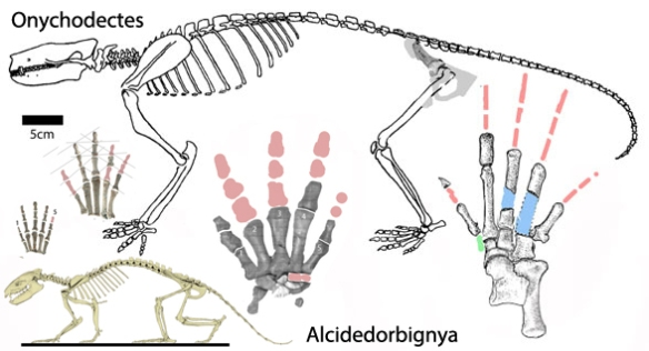 Figure 2. Onychodectes is the first large terrestrial placental to appear after the Cretaceous.
