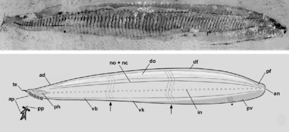 Figure z. Pikaia gracilens from Mallatt and Holland 2013 showing hagfish and lancelet affinities.