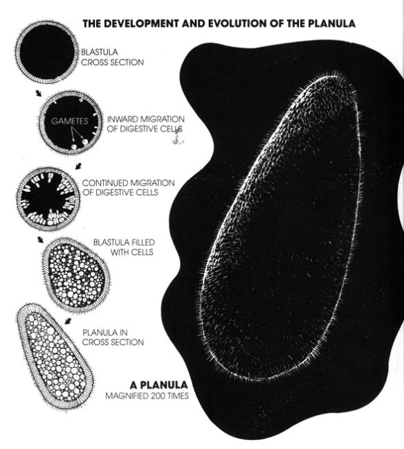 Figure 4. Planula evolution from a microscopic blastula. It simply fills with cells that have to be fed from external cells.