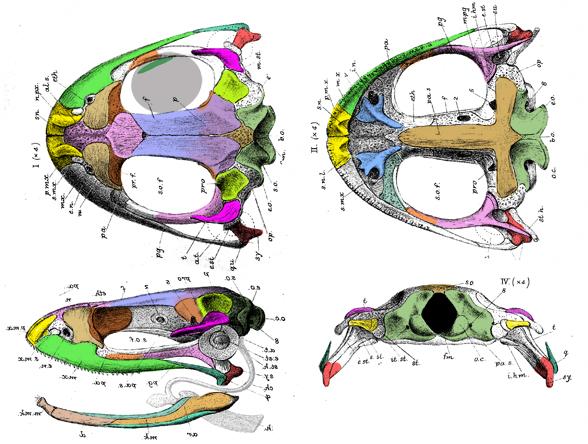 Figure 2. Skull of the frog, Rana