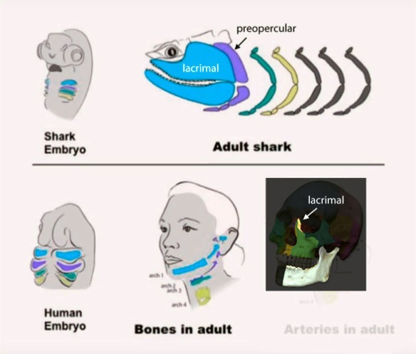 Figure 4. Keating's illustration of shark and human facial bones. Labels and dark skull image at lower right added here.