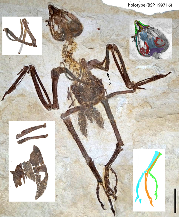 Figure 5. Tynskya in situ and with some parts pulled out for clarity. Apparently the pelvis and backbone are still buried in this ventral view of the torso, dorsal view of the skull after neck torsion.