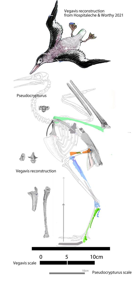 Figure 1. Vegavis reconstruction from Hospitaleche & Worthy 2021 compared to Vegavis bones applied to Pseudcrypturus blueprint.