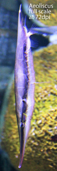 Figure 1. Aeoliscus in vivo at full scale on a 72 dpi monitor.