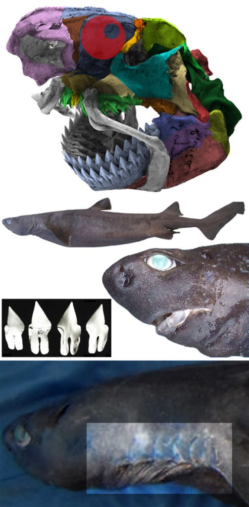 Figure 4. Daliatias, the extant kitefin shark, has relatively large labial cartilages.