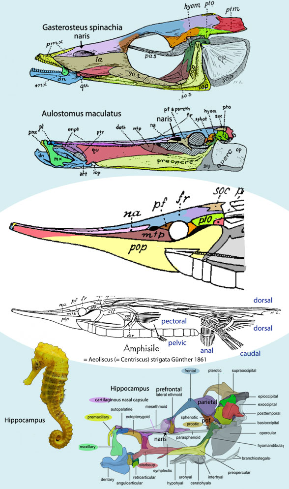 Figure 2. Aeoliscus anatomy from Gregory 1933 compared to related taxa in the sea horse / pipefish clade. Tetrapod analog colors applied here.