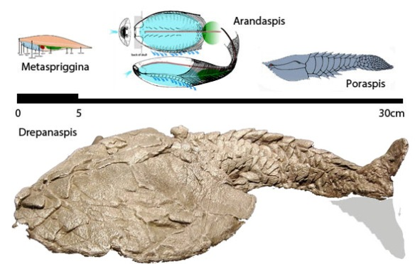Figure 3. A clade of finless chordates that became armored.