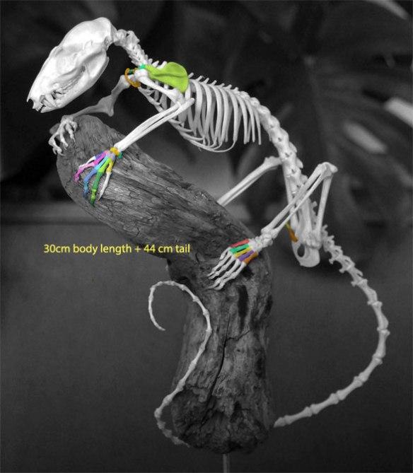 Figure 3. Caluromys skeleton.