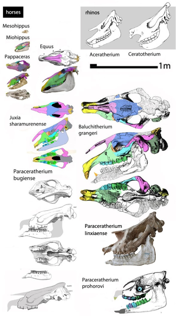 Figure 4. A variety of horse and paracerathere skulls.