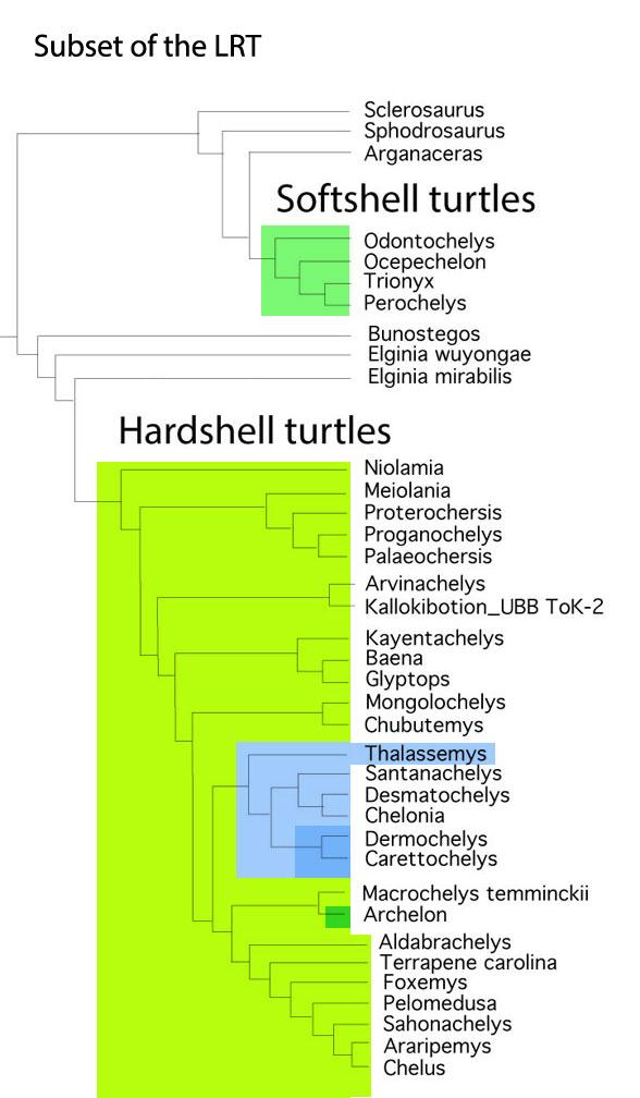 Figure 1. Subset of the LRT focusing on turtle origins.