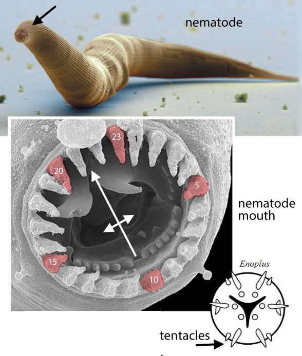Figure 4. The nematode ancestors of hagfish have no eyes.