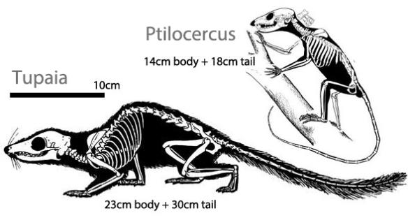 Figure 5. Two small extant traditional tree shrews, Tupaia and Ptilocercus.