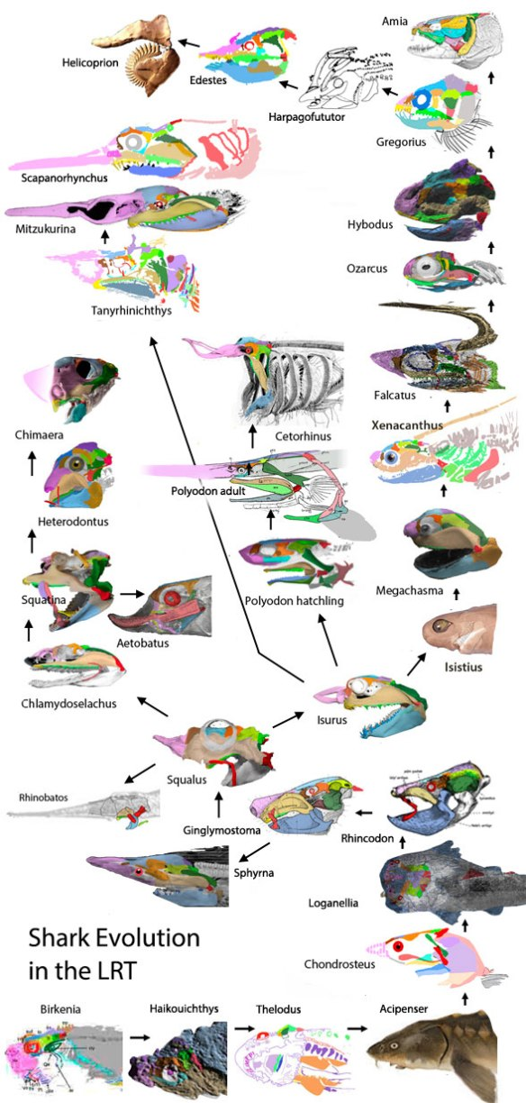 Figure 2. Fish evolution from Hybodus to Amia documenting the shark to bony fish transition.