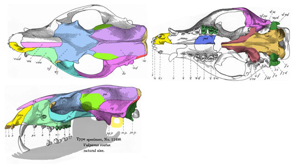 Figure 2. Vulpavus (Phlaodectes) ovatus (Matthew 1909; Middle Eocene; 12cm skull length) does not nest with Vulpavus palustris in the LRT. Instead it nests with Onychodectes from the Earliest Paleocene close to the origin of Condylartha and the large herbivorous placentals. Figure 2. Vulpavus (Phlaodectes) ovatus (Matthew 1909; Middle Eocene; 12cm skull length) does not nest with Vulpavus palustris in the LRT. Instead it nests with Onychodectes from the Earliest Paleocene close to the origin of Condylartha and the large herbivorous placentals.