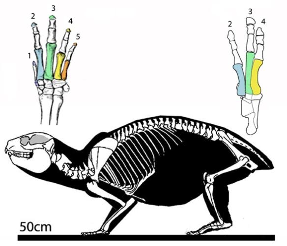 Figure 3. Skeleton of a hyrax (Provavia).