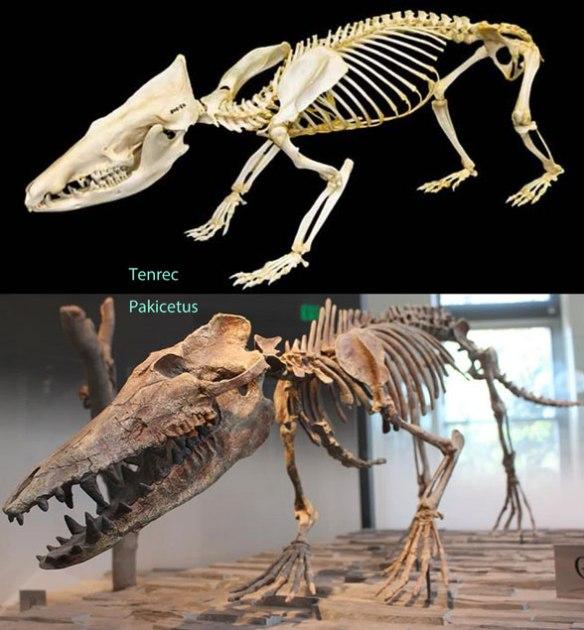Figure 3. Skeleton of Tenrec alongside restored skeleton model of Pakicetus.
