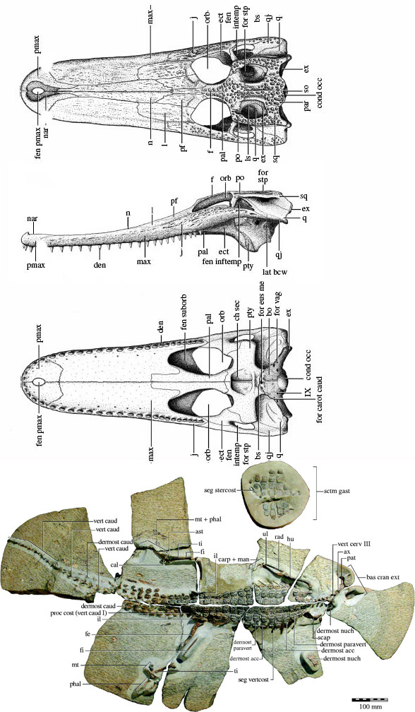 Figure 4. Isisfordia was a Middle Cretaceous precursor to later alligator and crocodiles in the LRT.