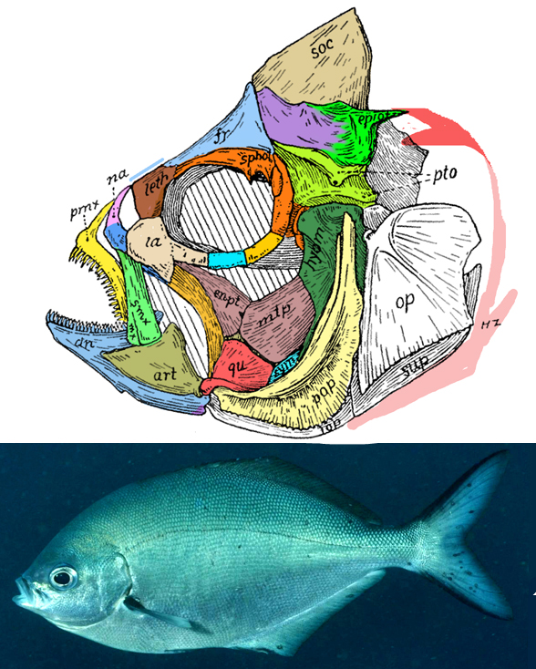 Figure 2. Scorpis skull from Gregory 1938. Colors added here. No asymmetry is present on this outgroup to the flatfish and Moorish idol.