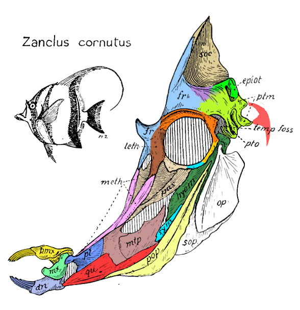 Figure 1. From Gregory 1933, the skull of Zanclus cornutus, the Moorish idol. Figure 1. From Gregory 1933, the skull of Zanclus cornutus, the Moorish idol.