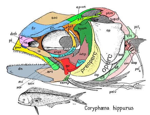 Figure 1a. Femaile Coryphaena skull diagram from Gregory 1933. Colors added here.