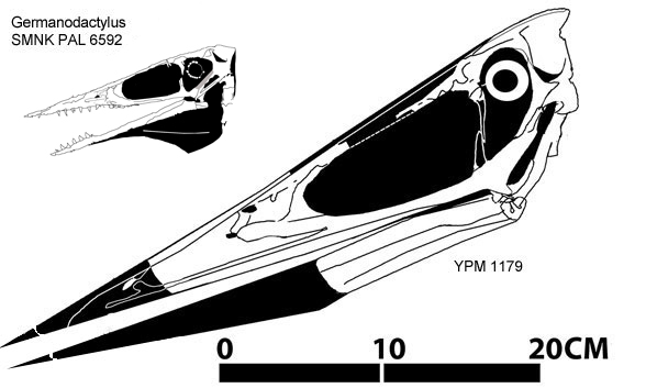 Figure 6. Pteranodon occidentalis to scale with the SMNK PAL 6592 specimen of Germanodactylus.